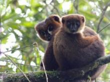 adult male red-bellied lemur
