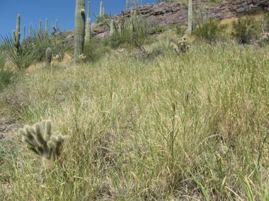 The research team is focusing on buffelgrass, which increases fire risk and threatens native saguaros. (Photo: National Park Services)
